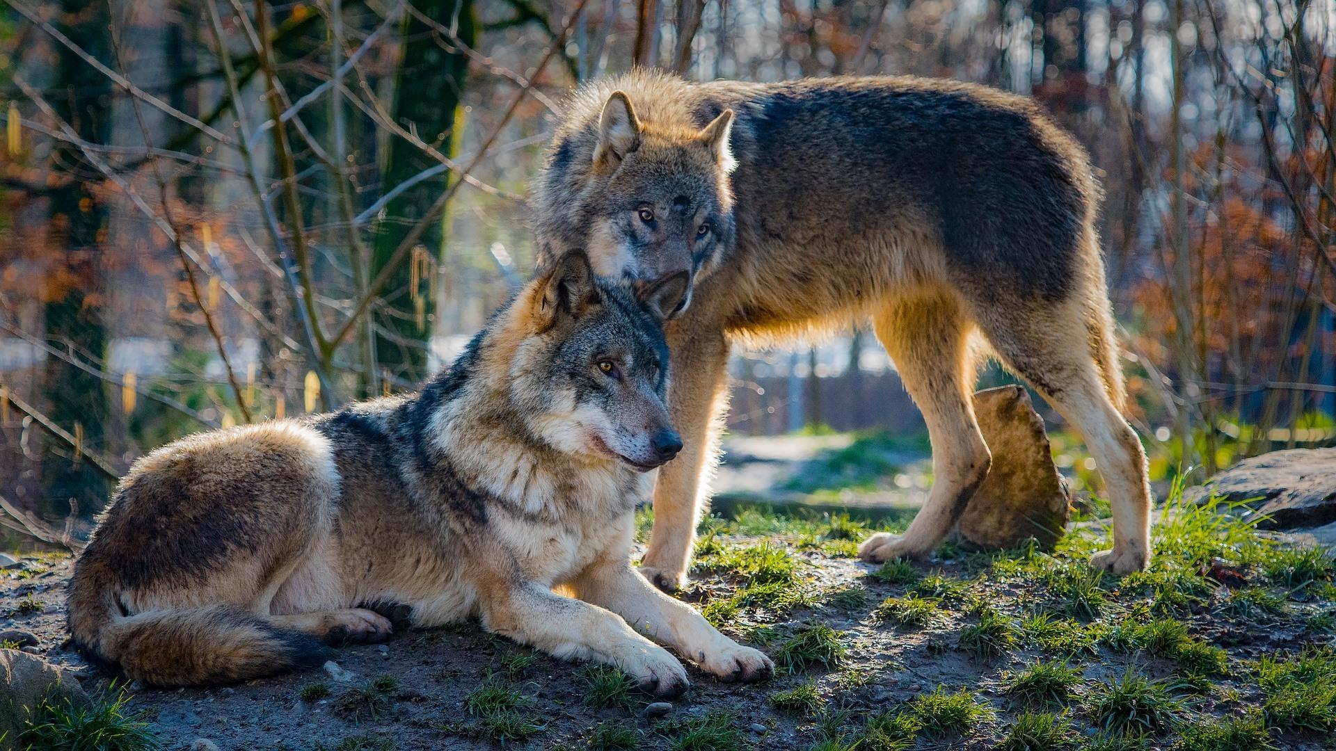Výsledek obrázku pro vlci