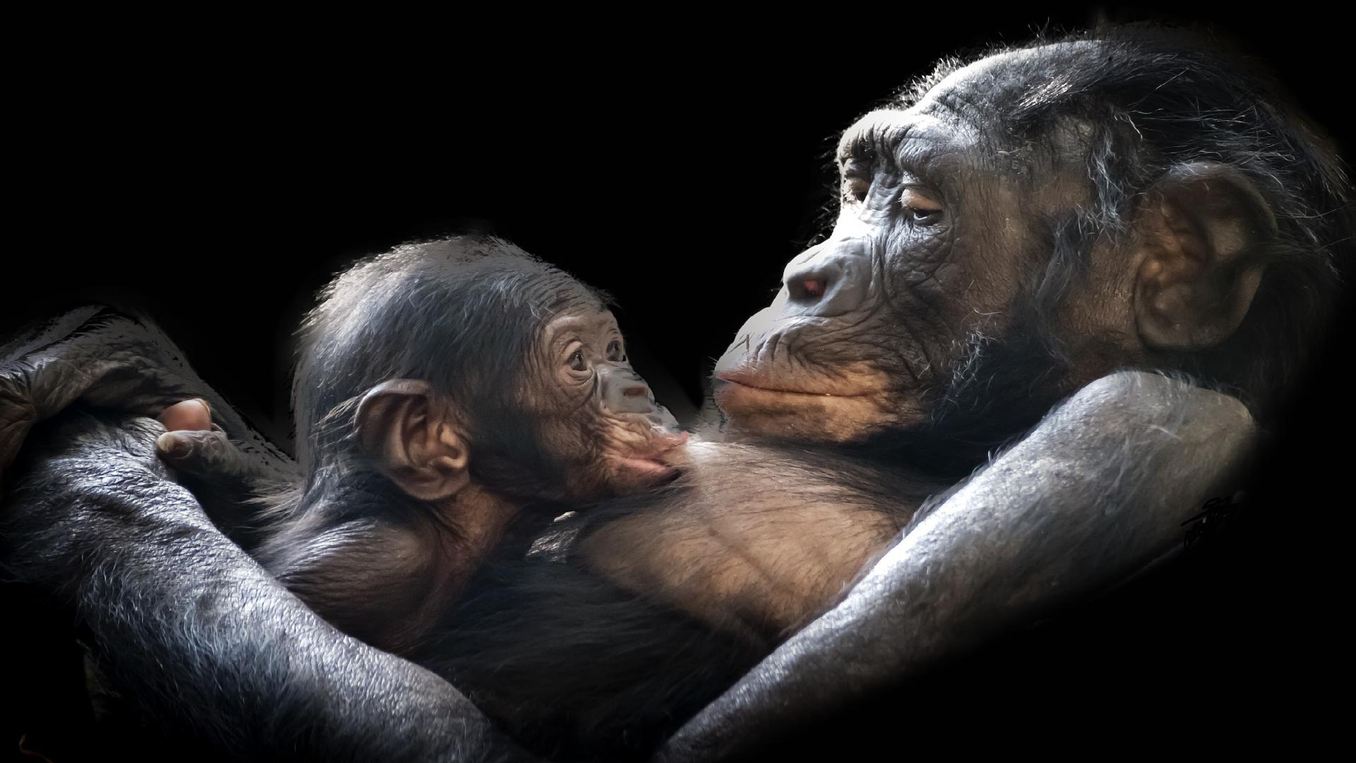 Gorila nížinná je extrémně ohrožený lidoop. Nová kampaň chce zrušit ... 33f312752f