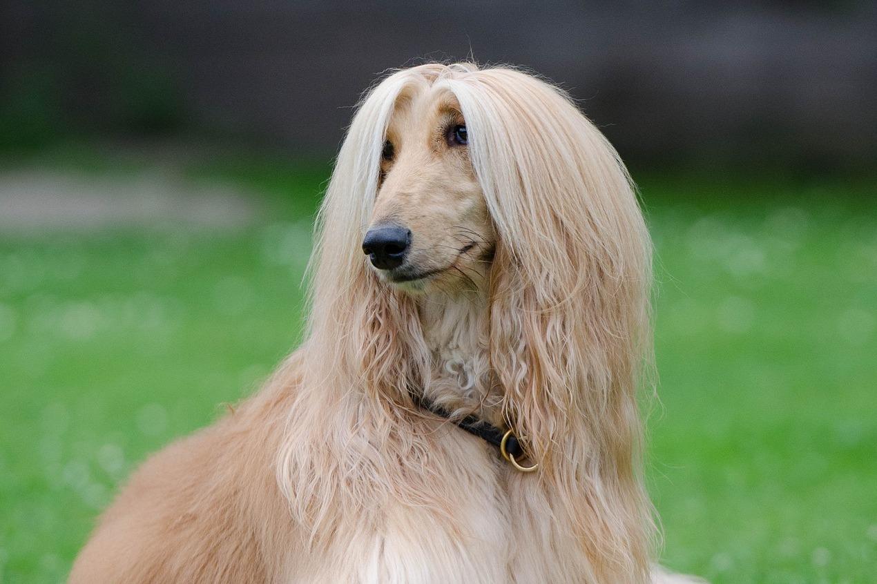 Afghánský chrt  Majestátní pes vás okouzlí svou důstojností a vznešeností  3cbeddf5f7