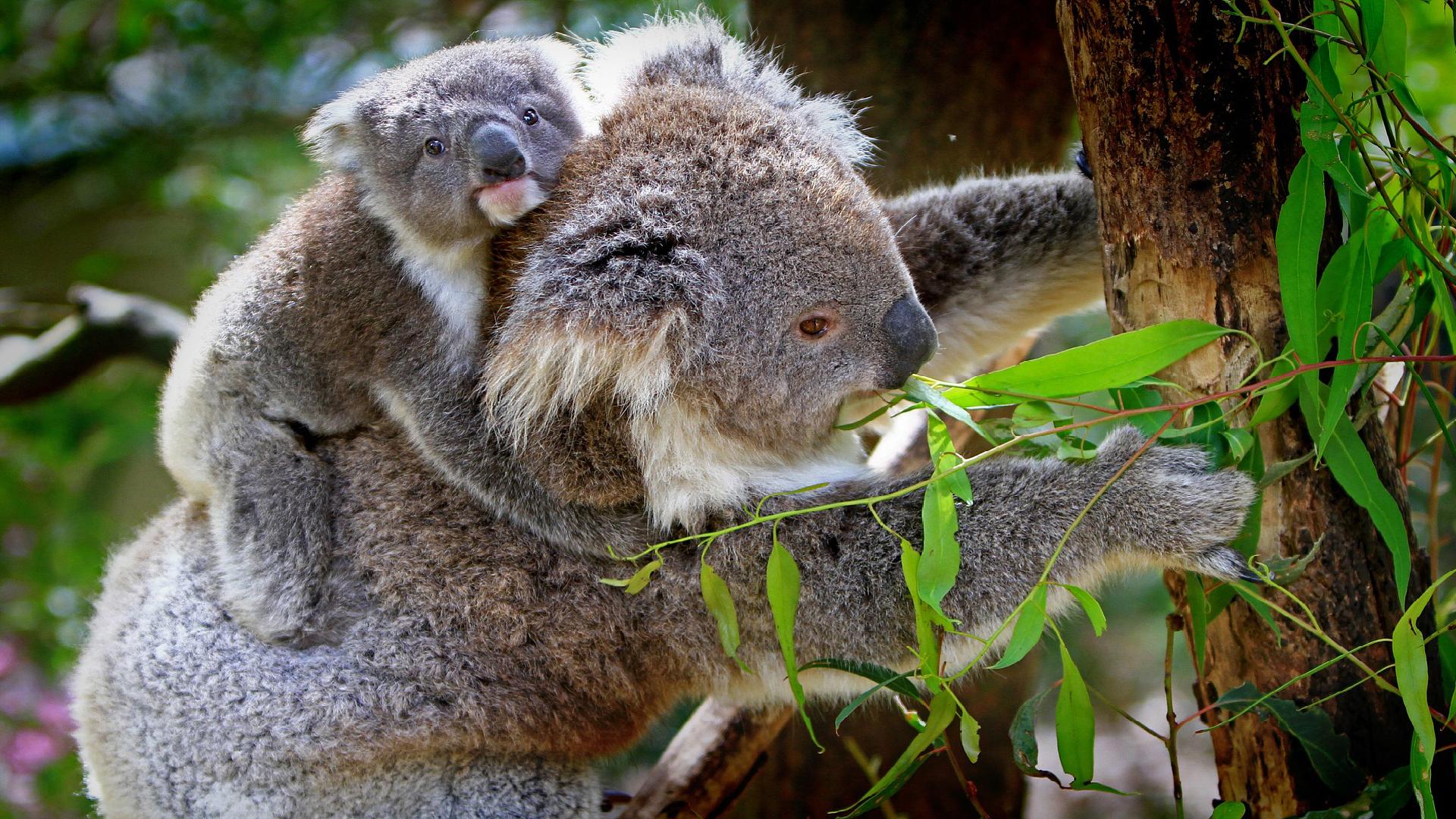Výsledek obrázku pro koala