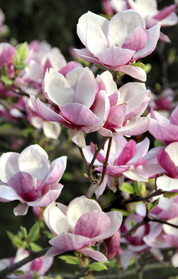 Magnolie neboli šácholany se vyskytují ve formě keřů anebo menších stromků Foto: