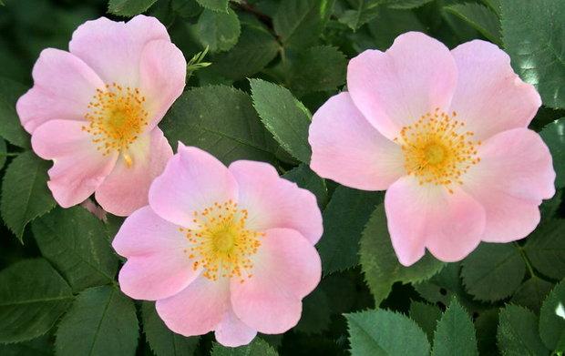 Růže šípková - Rosa canina Foto: archiv