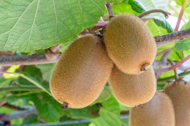 Lahodné kiwi 4 Foto: