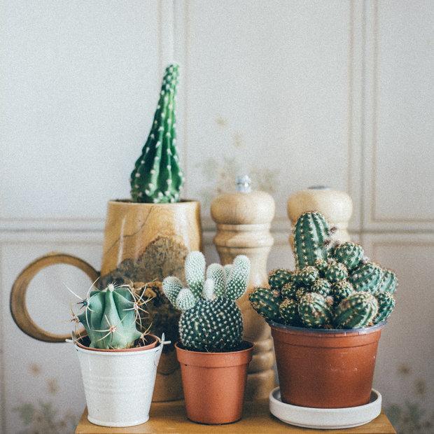 Beran: Kaktus Foto:
