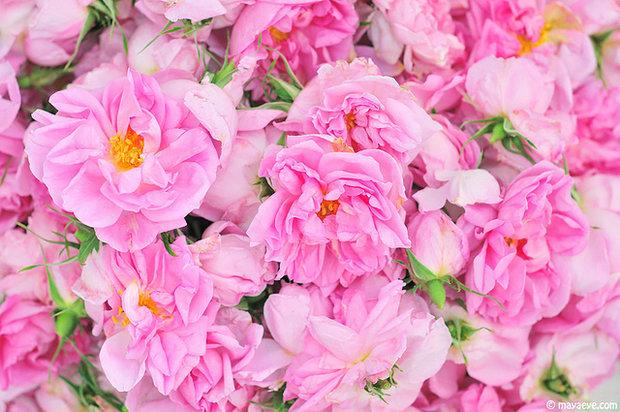 Růže damašská Foto: archiv