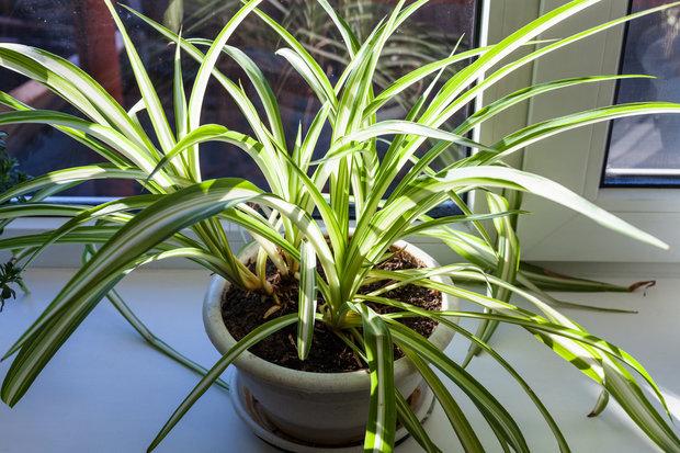Zelenec chocholatý (Chlorophylum comosum) Foto: