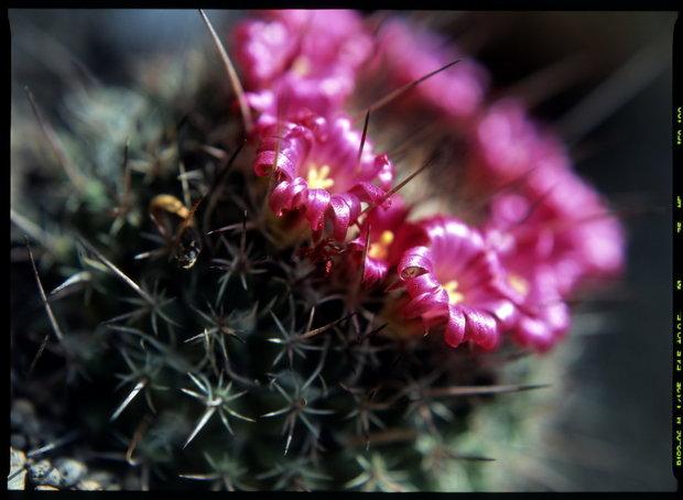 Mamilárie/Mammillaria mystax Foto: Jindřich Votýpka