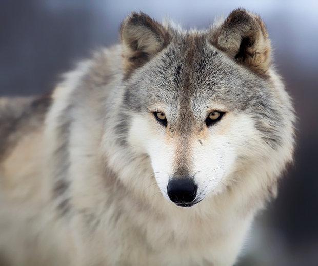 jak spíte - vlk Foto: