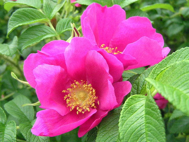 Růže svraskalá - Rosa rugosa Foto: archiv