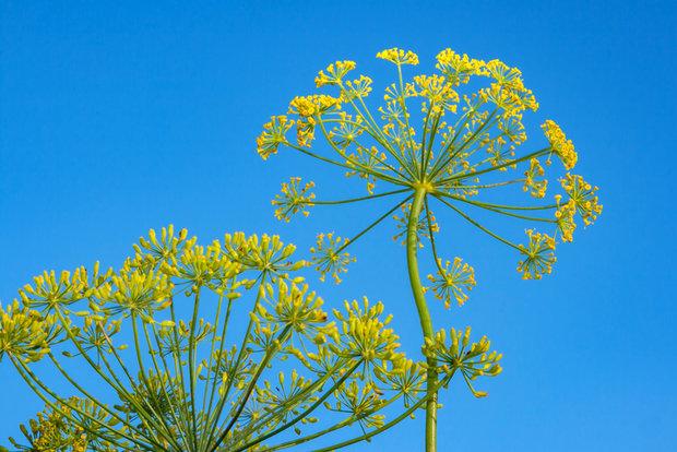 Sladké květy fenyklu 3 Foto: