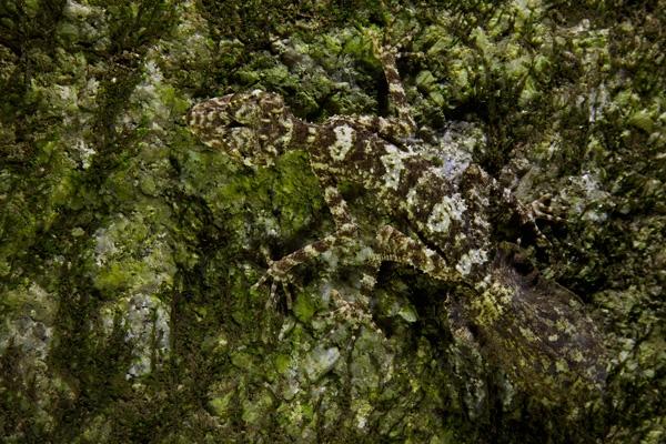 Nově objevený gekon Foto: Tim Laman / National Geographic