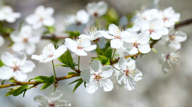 Květy stromů ovocných  Foto: Thinkstock