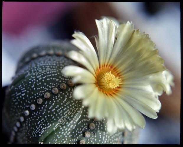 Astrofytum/Astrophytum asterias Foto: Jindřich Votýpka
