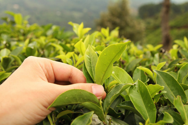 Zelený čaj 4 Foto: