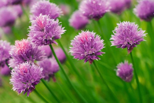 Pažitkové květy 2 Foto:
