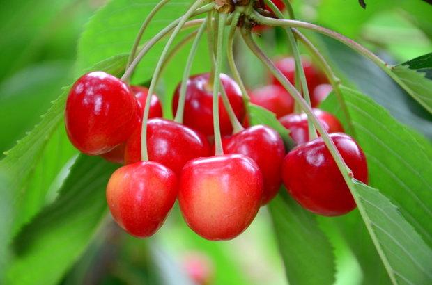 Třešně a višně 5 Foto: