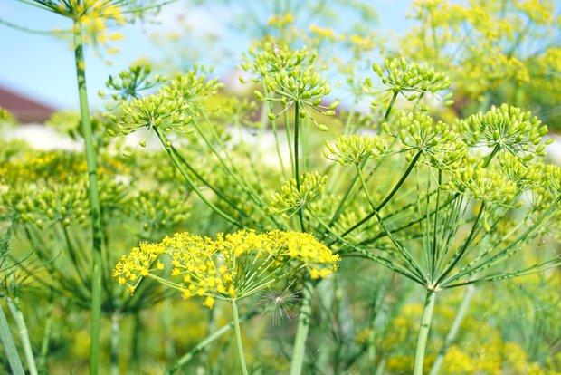 Sladké květy fenyklu 4 Foto: