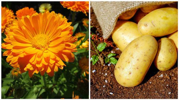 Měsíček a brambory Foto: