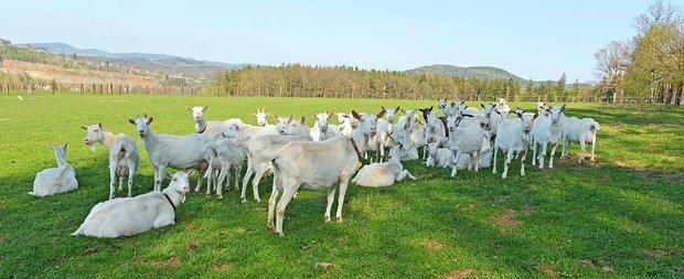 Užijte si kouzlo gastrostezek - šťastné kozy na Farmě Výrov Foto: