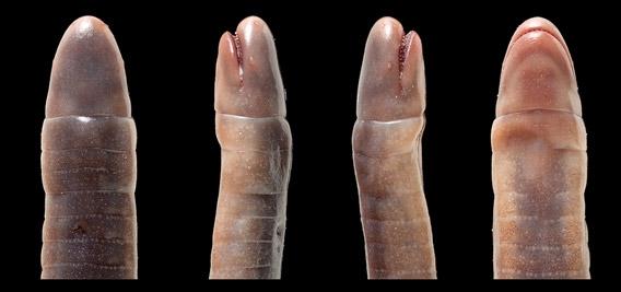 Microcaecilia dermatophaga Foto: Wilkinson et al.
