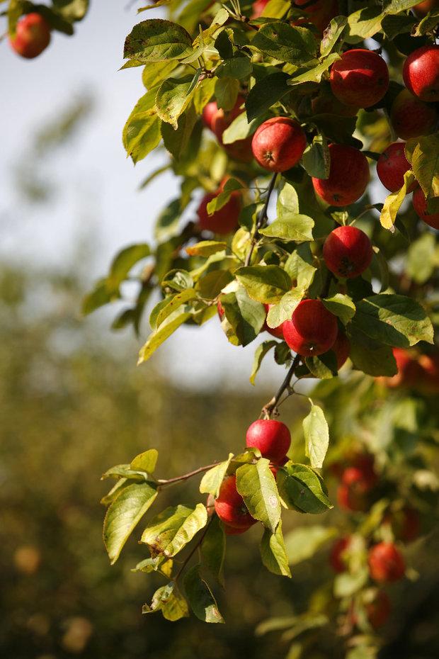 Chutná a vonná jablka Foto: