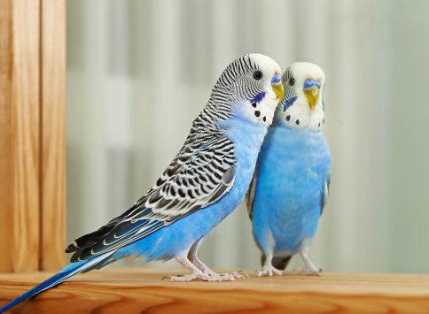 Domácí mazlíčci - ptačí tuberkulóza Foto:
