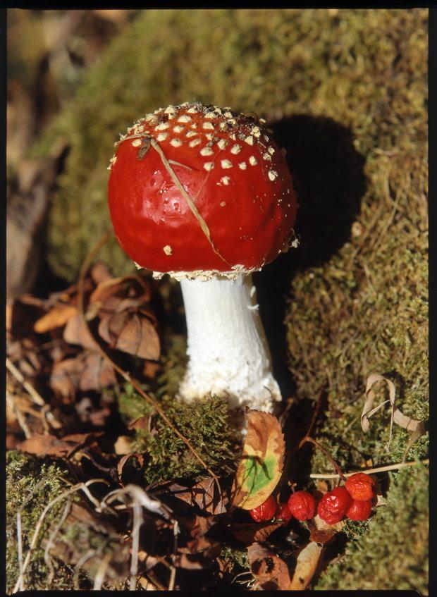 Muchomůrka červená/Amanita muscaria Foto: Jindřich Votýpka