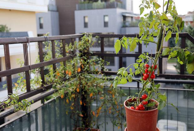 Zahrada na balkoně poslouží i k vypěstování rajčat Foto: