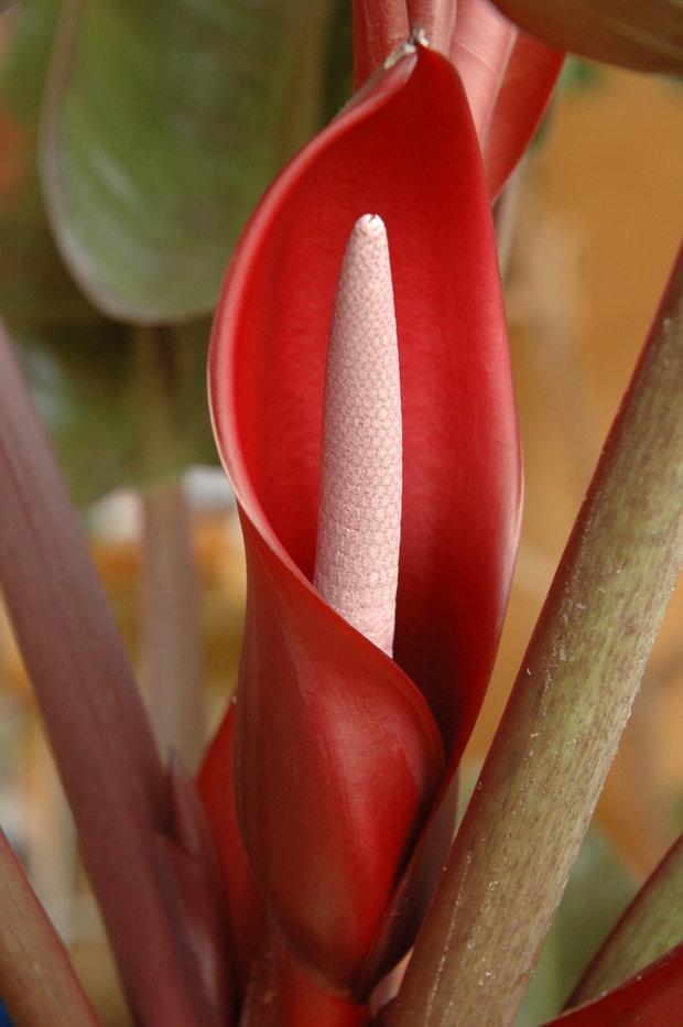 Filodendron/Philodendron erubescens -kvet Foto: Jindřich Votýpka