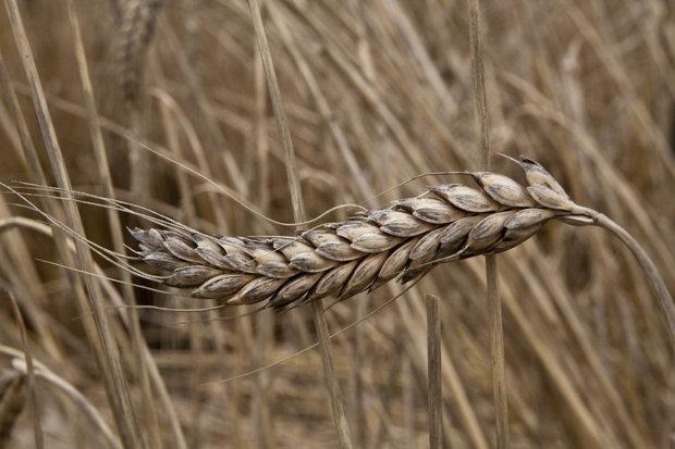 emmer-wheat_medium Foto: