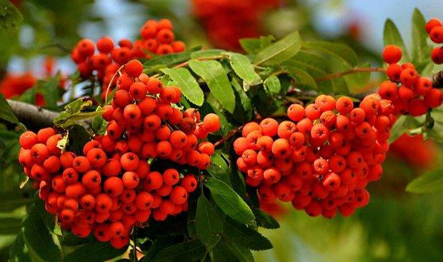 Netradiční letní ovoce - jeřabiny Foto: