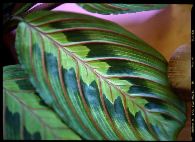 Maranta/Maranta leuconeura tricolor - detail Foto: Jindřich Votýpka