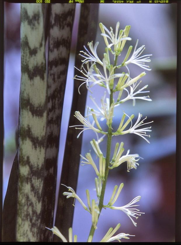 Tenura/Sansevieria trifasciata - květ Foto: Jindřich Votýpka