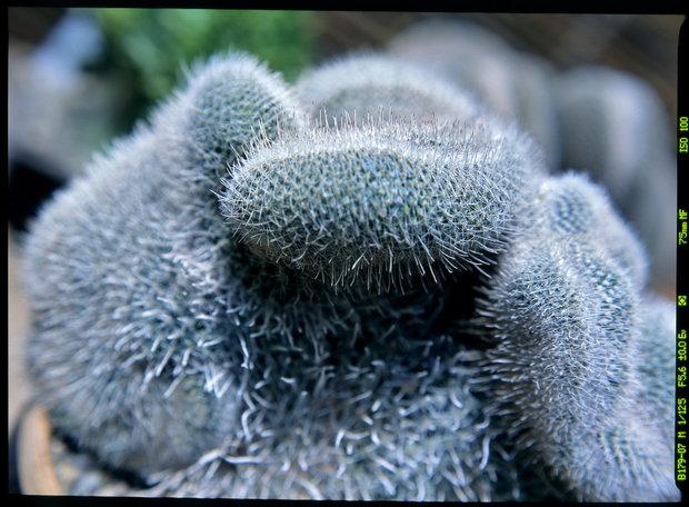 Mamilárie/Mammillaria geminispina cristata Foto: Jindřich Votýpka