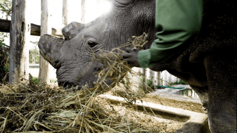Súdán je poslední samec nosorožce severního bílého. Máme na jeho záchraně také podíl, postarala se o něj zoo ve Dvoře Králové.