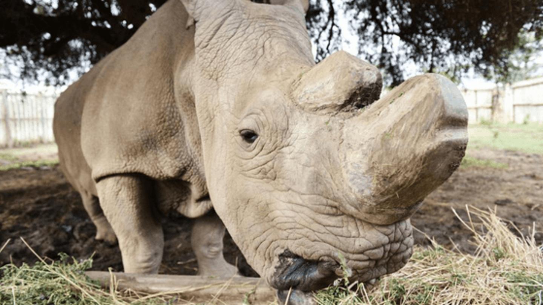Nebýt královédvorské zoo, byl by nosorožec severní bílý již vyhynulý druh. Súdán má svou osobní ochranku už od roku 2009.