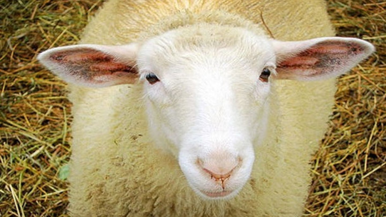 Lanonin je žlutá mazlavá látka vylučovaná mazovými žlázami zvířat tvořících vlnu. Používá se třeba při výrobě krémů na boty… Nebo také do žvýkaček, aby nebyly tak tuhé