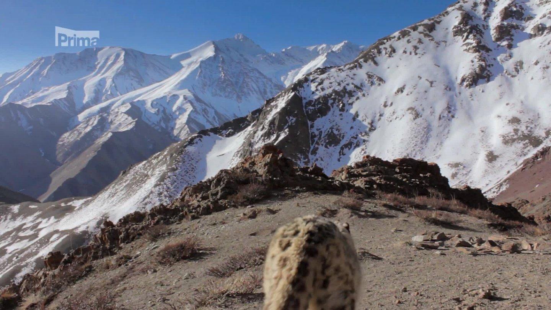 Zázračná planeta II 2 - levhart sněžný v Himálaji