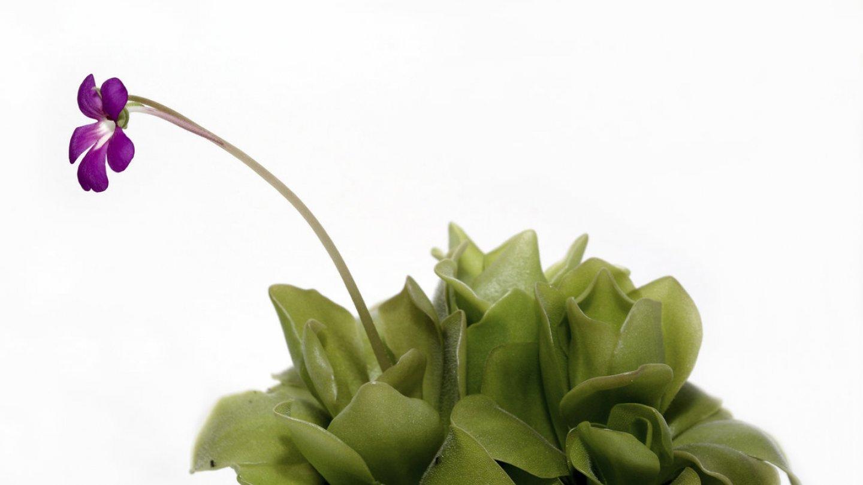 Kvetou fialově