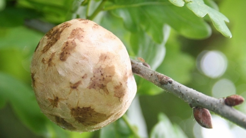 Duběnka na dubových listech je zdrojem mnoha výživných látek. FOTO: Fleur de Santé