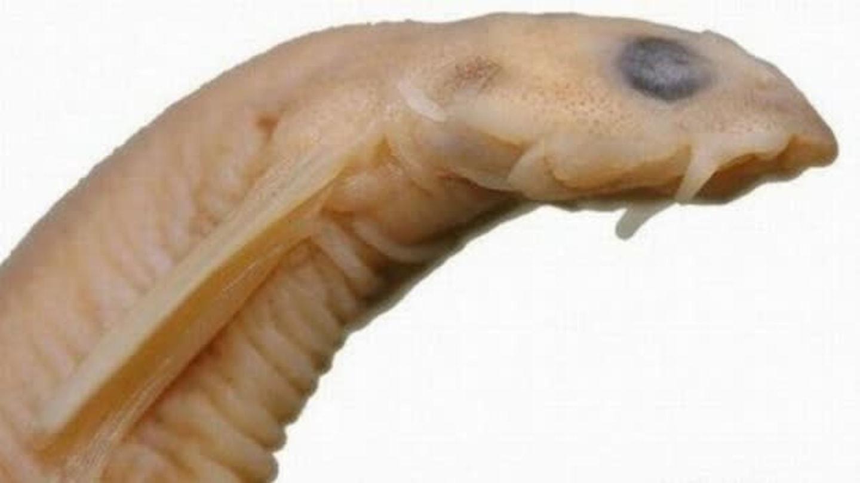 paraziticka ryba)