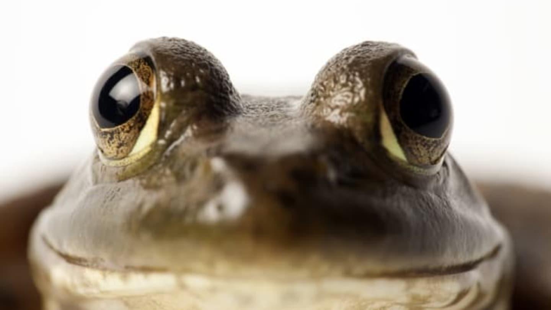 Usměvavá žába