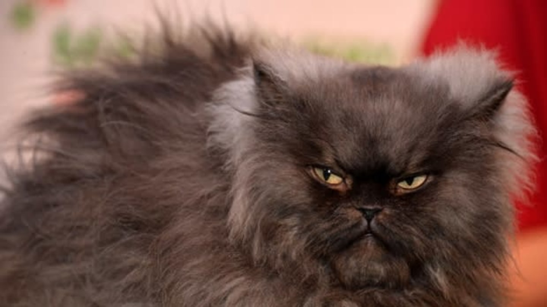 Plukovník Mňau (Colonel Meow), nejchlupatější a také nejpřísnější kocour na světě, již není mezi živými. Zatím se neví, na co Plukovník zemřel. Jeho majitelka se stáhla do ústraní, aby oplakala odchod svého mazlíčka s výrazem tvrdého diktátora.