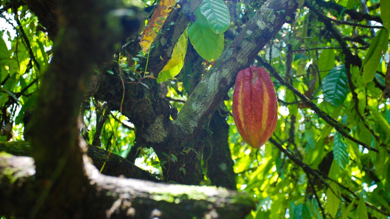 Kakaové boby rostou přímo z kmene kakaovníku FOTO: Flickr.com, autor: EverJean