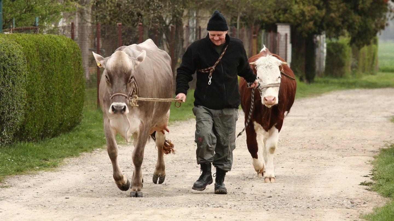 Kde asi Radim získal krávu