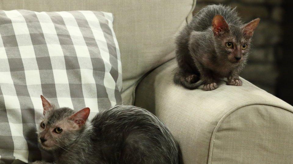 Kočičí plemeno lykoi: Málo známé krásky s vlčím kožíškem 1