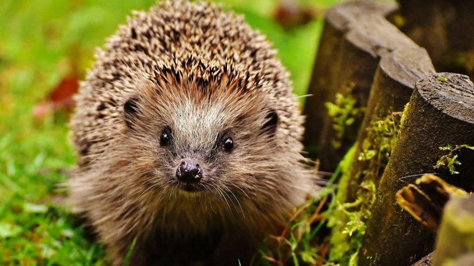 Má-li v listopadu ježek méně než 400 g, téměř určitě zimu nepřežije