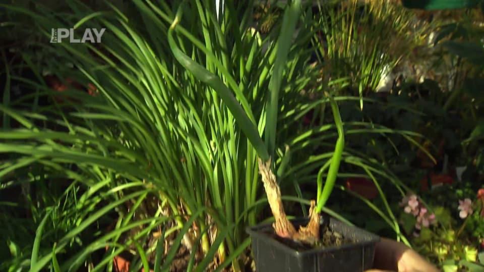 Množení pokojových rostlin