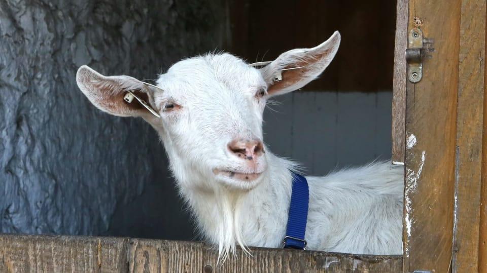 Jak vybrat správné plemeno koz, abychom získali co nejlahodnější mléko
