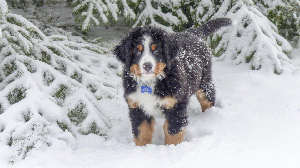 Bernský salašnický pes zimu miluje